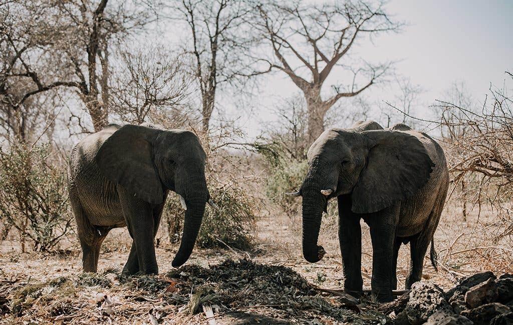 Wild elephants at this safari wedding